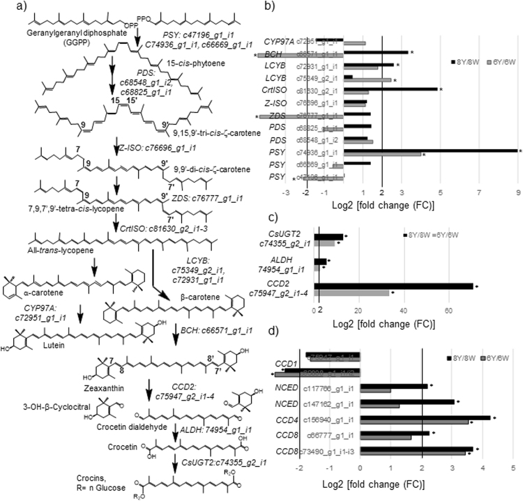 Expression levels of differentially expressed unigenes assigned to the carotenoid and apocarotenoid biosynthetic pathways in C. sieberi . ( a ) An overview of the carotenoid and crocin biosynthesis pathway enzymes and metabolites. Homologues for the different enzymes (in italics) were identified in the transcriptome assembly and unigenes codes are located beside each enzyme name. Abbreviations are as follows: PDS (phytoene synthase), PSY (phytoene synthase), PDS (phytoene desaturase), Z-ISO (15- cis -ζ-carotene isomerase), ZDS (Z-carotene desaturase), CrtISO (carotene isomerase), LCYB (lycopene-β-cyclase), BCH (β-carotene hydroxylase), CCD2 (carotenoid cleavage dioxygenase 2), ALDH (aldehyde dehydrogenase), CsUGT2 ( Crocus sativus glucosyltransferase 2). ( b ) Differential expression analyses of carotenoid biosynthesis pathway genes identified in the pairwise comparisons of 6Y/6W and 8Y/8W. ( c ) Differential expression analyses of homologues to ALDH and UGT genes identified in the pair-wise comparisons of 6Y/6W and 8Y/8W. ( d ) Differential expression analyses of carotenoid cleavage dioxygenase genes homologues identified in the pair-wise comparisons of 6Y/6W and 8Y/8W.
