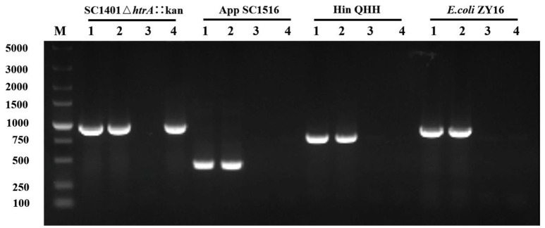 H. parasuis can take up heterologous DNA but degrade it after the bacteria was passaged for one generation. The 16S rDNA of different donor genomic DNA to transform wild type H. parasuis SC1401 was examined by PCR. Kan-cassette of homologous derivative SC1401Δ htrA ::kan was examined as a control. Lane 1: Respective genomic DNA (positive control). Lane 2: Pellet. Lane 3: Dnase-treated supernatant. Lane 4: Passaged bacteria. M: DNA ladder (DL5000, TaKaRa, Japan).