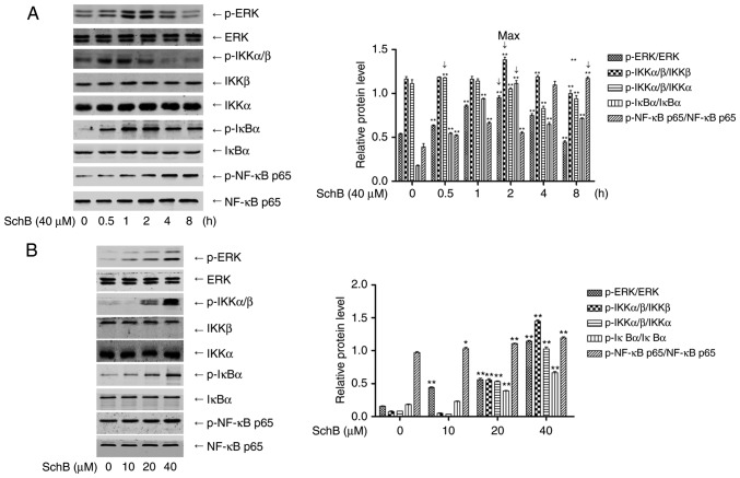 Signaling via ERK/NF-κB activation in the cis-DDP-induced apoptosis of HK-2 cells. (A) HK-2 cells were incubated with 40 µ M SchB for 0, 0.5, 1, 2, 4 and 8 h, and the cell lysates were collected. Western blotting was performed to determine the phosphorylation of ERK, IKKα/β, IκBα and p65. (B) HK-2 cells were incubated with 10, 20 and 40 µ M SchB for 0.5, 2, 2 and 8 h, and the phosphorylation of ERK, IKKα/β, IκBα and p65 was determined, respectively. Data are presented as the mean ± standard deviation (n=3). * P