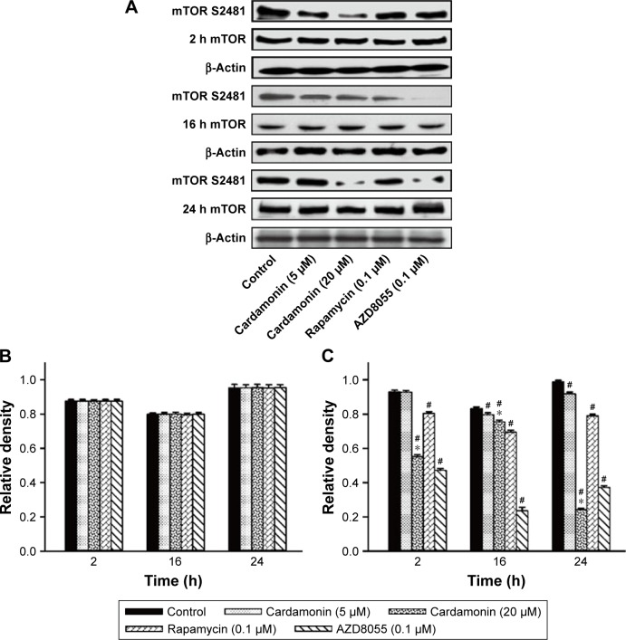 Cardamonin downregulated the expression of mTOR S2481. Notes: SKOV3 cells were incubated with cardamonin (5 and 20 μM), rapamycin (0.1 μM), and AZD8055 (0.1 μM) for 2, 16, and 24 h. Western blotting was used to detect the expression of mTOR S2481 and total mTOR. ( A ) Autoradiograph of expression of mTOR S2481 and total mTOR. The density ratios of each band by mTOR/β-actin ( B ) and mTOR S2481/β-actin ( C ). n=3; # P