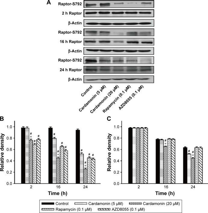 Cardamonin downregulated the expression of Raptor-S792 and total Raptor. Notes: SKOV3 cells were incubated with cardamonin (5 and 20 μM), rapamycin (0.1 μM), and AZD8055 (0.1 μM) for 2, 16, and 24 h. Western blotting was used to detect the expression of Raptor-S792 and total Raptor. ( A ) Autoradiograph of expression of Raptor-S792 and total Raptor. The density ratios of each band by Raptor-S792/β-actin ( B ) and Raptor/β-actin ( C ). n=3; # P