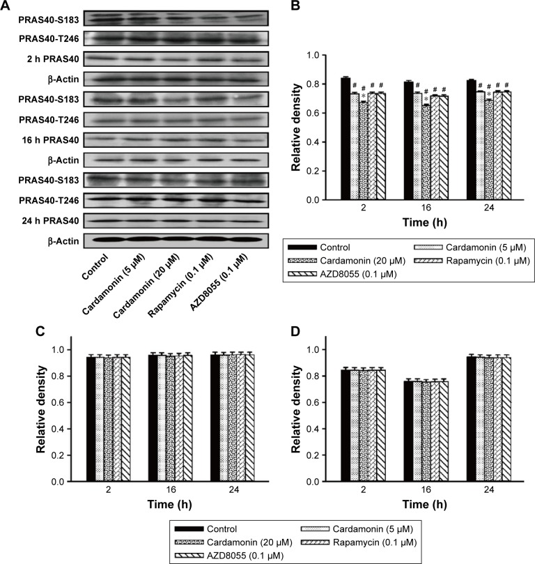 Cardamonin downregulated the expression of PRAS40-S183. Notes: SKOV3 cells were incubated with cardamonin (5 and 20 μM), rapamycin (0.1 μM), and AZD8055 (0.1 μM) for 2, 16, and 24 h. Western blotting was used to detect the expression of PRAS40-S183, PRAS40-T246, and total PRAS40. ( A ) Autoradiograph of expression of PRAS40-S183, PRAS40-T246, and total PRAS40. The density ratios of each band by PRAS40-S183/β-actin ( B ), PRAS40-T246/β-actin ( C ), and PRAS40/β-actin ( D ). n=3, # P