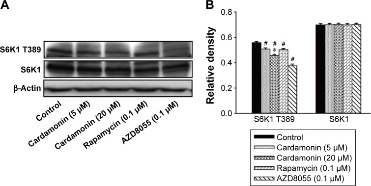 Cardamonin downregulated the expression of p-S6K1. Notes: SKOV3 cells were incubated with cardamonin (5 and 20 μM), rapamycin (0.1 μM), and AZD8055 (0.1 μM) for 24 h. Western blotting was used to detect the expression of S6K1 T389 and total S6K1. ( A ) Autoradiograph of expression of S6K1 T389 and total S6K1. ( B ) The density ratios of each band by S6K1 T389/β-actin and S6K1/β-actin. n=3; # P