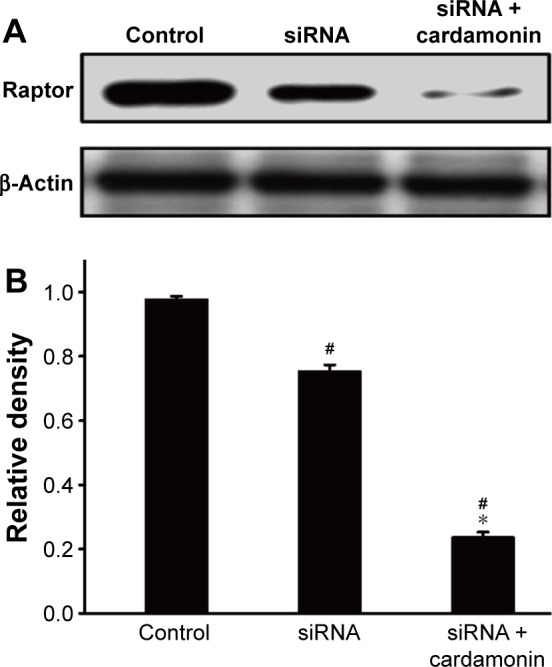 Analysis of Raptor interference. Notes: SKOV3 cells were transfected with Raptor siRNA for 24 h and then treated with cardamonin (20 μM) for 24 h. Cell extracts were analyzed by Western blotting for the expression of total Raptor. ( A ) Expression of total Raptor in Raptor RNAi SKOV3 cells. ( B ) The density ratios of each protein expression band by Raptor/β-actin in Raptor RNAi SKOV3 cells. n=5; # P