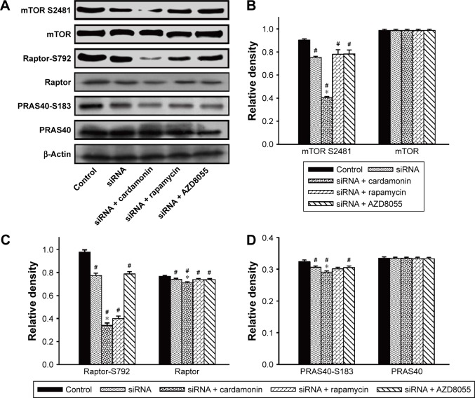 Cardamonin downregulated the phosphorylation of mTORC1-specific binding proteins. Notes: SKOV3 cells were transfected with Raptor siRNA for 24 h and then treated with cardamonin (20 μM), rapamycin (0.1 μM), and AZD8055 (0.1 μM) for 24 h. Expression of protein extracted from total cells was assayed by Western blotting. ( A ) The level of phosphorylation and total protein of mTORC1-specific binding proteins in Raptor RNAi SKOV3 cells. ( B ) The density ratios of each band by mTOR S2481/β-actin and mTOR/β-actin in Raptor RNAi SKOV3 cells. ( C ) The density ratios of each band by Raptor-S792/β-actin and Raptor/β-actin in Raptor RNAi SKOV3 cells. ( D ) The density ratios of each band by PRAS40-S183/β-actin and PRAS40/β-actin in Raptor RNAi SKOV3 cells. n=3; # P