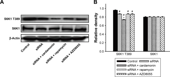 Cardamonin downregulated the phosphorylation of S6K1. Notes: SKOV3 cells were transfected with Raptor siRNA for 24 h and then treated with cardamonin (20 μM), rapamycin (0.1 μM), and AZD8055 (0.1 μM) for 24 h. Protein expression of phosphorylation and total S6K1 extracted from the total cell extracts were assayed by Western blotting. ( A ) The level of phosphorylation and total S6K1 in Raptor RNAi SKOV3 cells. ( B ) The density ratios of each band by S6K1 T389/β-actin and S6K1/β-actin in Raptor knock-down SKOV3 cells. n=3; # P