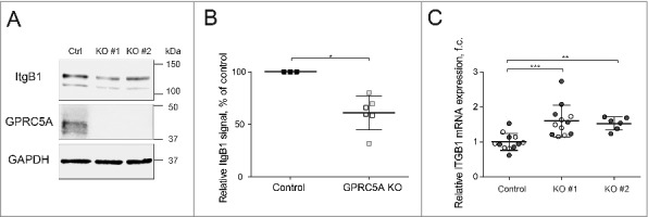 Knock-out of <t>GPRC5A</t> results in reduced β1 integrin protein expression. (A) Western blot demonstrating a reduction in the total integrin β1 (ItgB1) protein in GPRC5A knock-out MDA-MB-231 cells grown on Collagen I matrix (0.1 mg/mL) for 48 h. KO#1 and KO#2 refer to 2 independent small guide <t>RNAs</t> used for a <t>CRISPR/Cas9-mediated</t> GPRC5A knockout. (B) Quantification of integrin β1 protein from 3 independent experiments like the one shown in (A). Black lines show mean values. Error bars represent SEM. Statistical significance was evaluated using the Mann-Whitney non-parametric test. (C) RT-qPCR results demonstrate that, in contrast to the protein, the amount of the ItgB1 transcript is increased in GPRC5A knock-out cells. Statistical significance was evaluated using ANOVA with Tukey post-hoc test. *, p