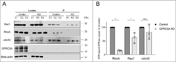 Knock-out of GPRC5A modulates the activity of RhoA and Rac1 GTPases. (A) Western blot demonstrating the amount of RhoA, Rac1, and cdc42 GTPases immunoprecipitated in GTP-bound state from the cells collected 30 minutes after plating on Collagen I (0.1 mg/mL). Three control (C1-3) and 3 knock-out (K1-3) samples were collected independently (N = 3). (B) Quantification of the experiment shown in (A). The signal from precipitated GTP-bound GTPases was normalized to the total amount of a corresponding GTPase protein and the loading control, and presented as % of control. Bars represent mean ± SEM, N = 3. Statistical significance was evaluated using one-way ANOVA test. *, p