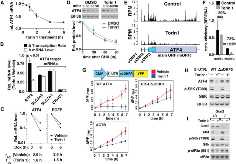 mTOR Controls ATF4 Translation and mRNA Stability (A) mTOR reduces ATF4 mRNA levels. RNA was isolated from cells treated with vehicle (DMSO) or 250 nM Torin 1 for the indicated times and analyzed by qPCR. RNA levels were normalized to GAPDH (n = 3, error bars are SD). (B) mTOR activity has little effect on ATF4 transcription. HEK293T cells were treated with vehicle or 250 nM Torin 1 for 4 hr and then pulsed for 15 and 30 min with 100 μM 4sU. RNA was reacted with MTS-biotin, isolated by streptavidin-affinity purification, and analyzed by qPCR. Synthesis rates were determined by comparing 4sU labeling at 15 and 30 min and compared to changes in steady-state mRNA levels (n = 3, error bars are SD). (C) mTOR inhibition decreases the half-life of ATF4 mRNA. ATF4 −/− HEK293T cells simultaneously expressing doxycycline-repressible constructs encoding ATF4 and GFP were pre-treated with vehicle or 250 nM Torin 1 for 30 min, and then 1 μg/mL doxycycline. mRNA was collected at 0 and 6 hr post-doxycycline addition and analyzed by qPCR. mRNA levels were normalized to GAPDH (n = 3, error bars are SD, but are too small to be visible). (D) ATF4 protein stability is unaffected by mTOR inhibition. Extracts were prepared from HEK293T cells pre-treated with 100 μg/mL cycloheximide for 5 min and then with vehicle (DMSO) or 250 nM Torin 1 for the indicated times, and they were analyzed for the indicated proteins by immunoblotting (left panel) and quantified by normalizing levels of ATF4 to EIF3B (right panel) (n = 3, error bars are SD). (E) mTOR inhibition preferentially decreases translation of the ATF4-coding ORF. Top panel: ribosome profiling data from HEK293T cells treated for 24 hr with vehicle (DMSO) or 250 nM Torin 1 are shown. Bar heights are reads per million (RPM) for each position in the spliced ATF4 transcript, and they are the combined values of two replicate libraries. Bottom panel: organization of ORFs in the ATF4 mRNA is shown. (F) mTOR-regulated change in the translation efficiency of ATF4 ORFs. Translation efficiencies of ATF4 uORF3 and main ORF (mORF) were calculated by normalizing ribosome-protected fragment (RPF) reads from (E) from non-overlapping segments of uORF3 or mORF to RNA levels in DMSO- and Torin 1-treated conditions (n = 2, error bars are SD, significance calculated by t test). (G) Top panel: reporter design. 5′ UTRs are from wild-type human ATF4 (WT), ATF4 with start codon of uORF3 mutated to TAC (DuORF3), or ACTB. Bottom panel: cells were treated with 10 μM TMP to stabilize YFP concurrently with vehicle (DMSO) or 250 nM Torin 1, and they were monitored for fluorescence at the indicated times (n = 9, error bars are SEM). (H) uORF3 is required for mTOR control of full-length ATF4. ATF4 −/− HEK293T cells stably expressing dox-inducible WT or DuORF3 ATF4 were treated with 1.0 μg/mL (WT) or 0.5 μg/mL (ΔuORF3) doxycycline for 40 hr, and then with vehicle (DMSO) or 250 nM Torin 1 for 1 hr. Cell extracts were prepared and analyzed by immunoblotting for the indicated proteins. (I) Gcn2 is required for mTOR control of eIF2α phosphorylation, but not ATF4 translation. Extracts were prepared from Gcn2 +/+ or Gcn2 −/− MEFs treated with vehicle (DMSO) or 250 nM Torin 1 for 4 hr, and they were analyzed by immunoblotting for the indicated proteins.