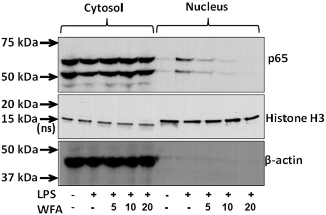 Inhibition of nuclear factor-kappa B (NF-κB) activation by withaferin A (WFA). Cell lysates from the cytoplasmic and nuclear fractions of lipopolysaccharide (LPS)-stimulated THP-1 cells following WFA (5, 10, 20 µM) treatment were subjected to protein expression analysis with antibodies for NF-κB, β-actin, and Histone H3 (a nuclear marker). NF-κB signaling molecules at the expected molecular weights of 50 and 65 kDa were observed both in both the cytosolic and nuclear fractions. The estimated size of 18 kDa for Histone H3 protein in nuclear lysate serves as internal control, whereas a non-specific band at ~15 kDa in the cytoplasmic fraction was also observed. Beta-actin (43 kDa) serves as an internal control for the cytoplasmic lysates. The experiment was performed twice with similar observations from two independent cell preparations.
