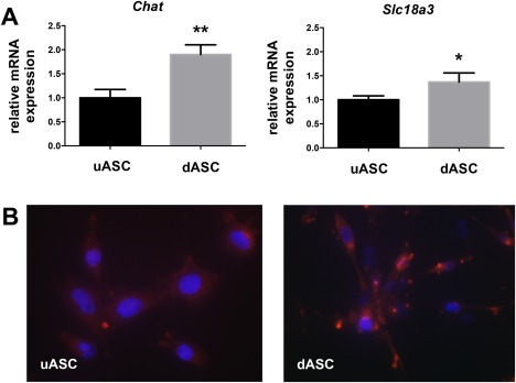 ASCs express the machinery for production and secretion of ACh. (A) Real‐time qRT‐PCR comparison of the expression of Chat and Slc18a3 . Compared with uASCs, the dASCs had a significantly higher expression of Chat and Slc18a3 . Slc18a3, vesicular acetylcholine transporter. (B) Immunocytochemistry of uASCs and dASCs using antibody against choline acetyltransferase (ChAT; red). DAPI was used to stain the nuclei (blue). * P