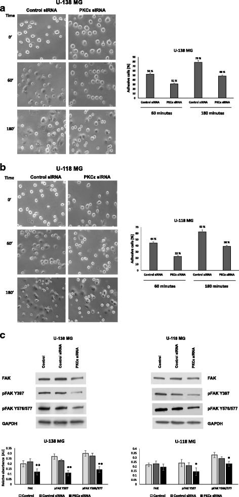 Effect of PKCε downregulation on the adhesion of glioblastoma cells. a . U-138 MG and b U-118 MG cells were transfected for 72 h with PKCε siRNA (PKCε siRNA) and Control siRNA and then were seeded in culture plates coated with Matrigel (Corning Life Sciences, NY, USA). The photos represent cell adhesion under the microscope at 100 x magnification field. c Evaluation of FAK expression in U-138 MG and U-118 MG cells with knockdown PKCε. Total protein expression and FAK phosphorylation at Tyr-397/Tyr-576/577 were assessed. GAPDH was used as a loading control and as an internal standard. Representative blots are shown. The densitometric analysis represents means ±SD of three independent experiments. * P