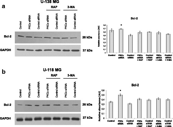Effect of PKCε downregulation and rapamycin or 3-MA treatment on Bcl-2, a protein that regulates autophagy process. a U-138 MG and b U-118 MG cells were transfected for 72 h with PKCε siRNA (PKCε siRNA) and non-targeting siRNA (Control siRNA) and then were treated for 24 h with rapamycin (300 nM) (PKCε siRNA + Rap) or 3-MA (5 mM) (PKCε siRNA + 3-MA). GAPDH was used as a loading control and as an internal standard. Representative blots are shown. The densitometric analysis represents means ±SD of three independent experiments. * P