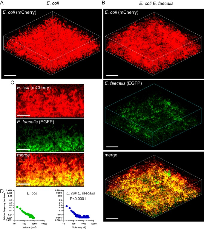 Biofilm formation by E. coli in monocultures or in cocultures with E. faecalis . (A and B) Confocal laser scanning microscopy of static biofilms formed by E. coli (expressing mCherry) grown individually (A) or in a mixed culture with E. faecalis (expressing enhanced GFP [EGFP]) (B). Scale bars, 40 μm. The mixed culture was initially inoculated at 1:1 ratio. (C) Side views of the mixed E. coli - E. faecalis biofilm. Scale bars, 20 μm. (D) Distribution of microcolony volumes in static single- and double-species biofilms of E. coli . The P value for the difference between single- and double-species biofilms was calculated using an unpaired t test (the data distribution was confirmed to be normal).