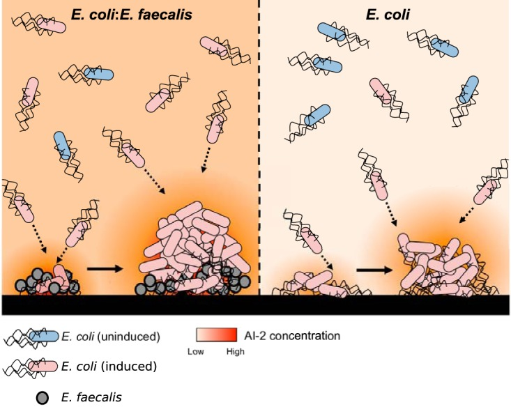 Proposed model of a static dual-species biofilm, in comparison to a single-species E. coli biofilm. E. faecalis is an active AI-2 producer, and its aggregates attract E. coli cells expressing LsrB. Cocultivation of E. coli with E. faecalis in static systems results in higher levels of extracellular AI-2, which helps E. coli cells to maintain lsr operon expression at low cell densities and to coaggregate effectively with E. faecalis , which creates nucleation zones for subsequent enhanced aggregate growth and biofilm formation. These coaggregates of E. coli and E. faecalis are more resistant to stress.