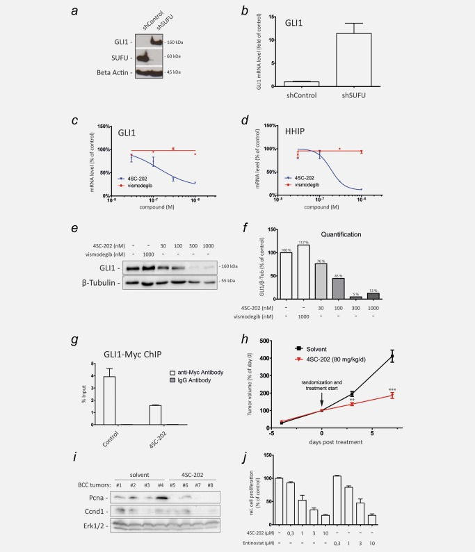 4SC‐202 inhibits HH/GLI signaling in SMOi‐resistant cancer cells. ( a ) Western blot analysis of GLI1 expression in cells with lentiviral shRNA‐mediated knockdown of SUFU (shSUFU) or control knockdown (shControl). Beta Actin served as loading control. ( b ) qPCR analysis of GLI1 mRNA expression in SUFU knockdown (shSUFU) and control cells (shControl) transduced with lentiviral nontargeting scrambled shRNA. ( c and d ) qPCR analysis of GLI1 ( c ) and HHIP mRNA expression ( d ) as readout for HH/GLI signaling activity in SUFU‐depleted SMOi‐resistant cells showing resistance to vismodegib but sensitivity to 4SC‐202 treatment. ( e ) Western blot analysis of SUFU‐depleted Daoy cells treated with vismodegib or 4SC‐202 at the concentrations indicated. β‐Tubulin served as loading control. Vismodegib was unable to reduce GLI1 protein levels, while 4SC‐202 treatment effectively abolished GLI1 protein expression. ( f ) Relative densitometric quantification of GLI1/β‐Tubulin protein levels shown in ( e ). ( g ) ChIP analysis of MYC‐tagged GLI1 binding to the GLI target promoter PTCH in response to control or 4SC‐202 treatment. Enrichment of GLI1 bound promoter DNA was measured by qPCR. IgG isotype antibody was used as control. ( h ) Murine BCC cells were subcutaneously injected into dorsal flanks of 12 NSG mice. 4SC‐202 was administered by oral gavage at 80 mg/kg/day. The tumor volume at day 0 (i.e., start of drug treatment (arrow)) was set to 100%. ( i ) Western blot analysis of solvent (allografts #1–#4) and 4SC‐202 treated (allografts #5–#8) BCC lysates probed for proliferation‐cell‐nuclear‐antigen (Pcna) and Ccnd1 expression. Erk1/2 expression served as loading control. ( j ) Analysis of in vitro cell proliferation of murine BCC cells in response to 4SC‐202 and entinostat treatment. ChIP: chromatin immunoprecipitation. ** p