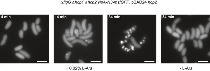 Sheath formation in Hcp‐limited cells Fluorescence timelapse images of Vibrio <t>cholerae</t> vipA‐N3‐msfGFP in hcp1/2 mutant background, complemented with hcp expressed from L‐arabinose‐inducible vector pBAD24. Scale bars are 2 μm.