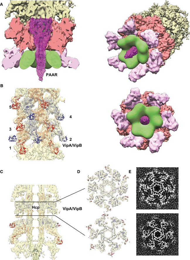 Central spike, tube, and sheath densities with a cavity for effector proteins Cutaway view of the density corresponding to the baseplate and spike with fitted X‐ray crystallographic structures of VgrG‐1 trimer (PDB 4MTK) and PAAR monomer (PDB 4JIV). Putative cavity for T6SS effectors is outlined in green. Side view of the density corresponding to the sheath next to the baseplate fitted with the atomic model of the VipA‐N3 sheath–tube (PDB 5MXN). In panels (B–D), odd sheath rings are colored in red, even in blue. Sheath rings are numbered starting from the first ring next to the baseplate. Side cutaway view of the baseplate reconstruction with the fitted atomic model of VipA‐N3 sheath–tube (PDB 5MXN). Top cutaway views of (C) with the fitted atomic model of VipA‐N3 sheath–tube (PDB 5MXN). Slices through the raw sheath–baseplate reconstruction, as in (D).