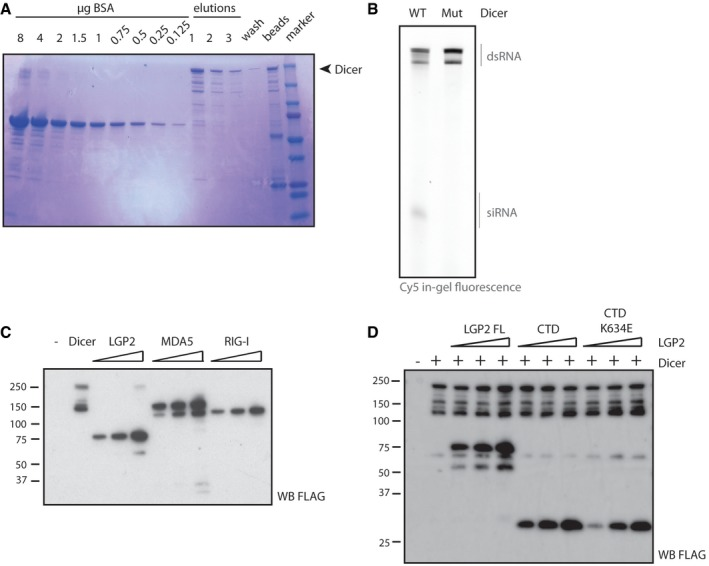 Set up of the in vitro dicing assays and related controls Purification of FLAG‐tagged human Dicer from HEK293T cells. FLAG‐hDicer was expressed in HEK293T cells by transient transfection and subsequently immunoprecipitated using a FLAG antibody, followed by three rounds of elution from the resin using 3FLAG‐peptide. Aliquots were analysed by SDS–PAGE and Coomassie staining. The remaining fraction on the beads was tested to verify efficient elution. The small RNAs generated in the dicing assay require the catalytic activity of Dicer. Fifty nM dsRNA internally labelled with Cy5 was incubated with 500 nM wild‐type FLAG‐hDicer or a catalytic mutant (D1320A/D1709A) for 1 h at 37°C prior to analysis on a denaturing polyacrylamide gel by in‐gel fluorescence. To verify equal protein input into the dicing assay of Fig 4 C, an equal amount of protein was taken for analysis by SDS–PAGE and immunoblotting using a FLAG antibody. To verify equal protein input into the dicing assay of Fig 4 D, a small aliquot of each reaction was analysed by SDS–PAGE and immunoblotting using a FLAG antibody.