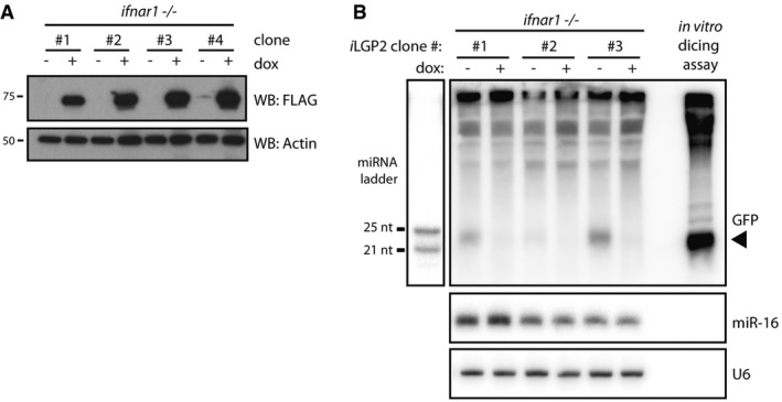 LGP 2 is sufficient to inhibit ds RNA processing by Dicer in cells lacking a competent type I IFN system Immunoblot analysis of four clones of Ifnar1 −/− MEFs in which expression of FLAG‐tagged human LGP2 (iLGP2) is induced following 72 h of doxycycline (dox) treatment. β‐Actin serves as loading control. Northern blot analysis of dsRNA‐derived siRNAs in Ifnar1 −/− iLGP2 MEFs left untreated or treated with dox for 24 h prior to transfection with dsRNA‐GFP. Twenty‐four hours post‐transfection, cells were harvested and the generation of siRNAs was analysed by Northern blotting using a probe specific for dsRNA‐GFP. The arrow points to dsRNA‐GFP‐derived siRNAs. RNA from an in vitro dicing reaction using dsRNA‐GFP was loaded in parallel. A miRNA ladder was used as a size marker, and endogenous U6 served as loading control. The membrane was first probed for dsRNA‐GFP, then stripped and reprobed for the miRNA marker, U6 and miR‐16. Source data are available online for this figure.