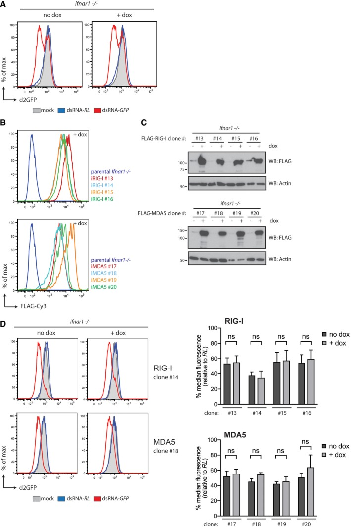 Expression of RIG‐I or MDA5, unlike that of LGP2, does not inhibit dsRNA‐mediated RNAi in Ifnar1 −/− cells Doxycycline treatment does not impact on dsRNAi in parental Ifnar1 −/− MEFs that lack inducible LGP2 expression constructs. Verification of doxycycline‐dependent induction of FLAG‐RIG‐I (iRIG‐I) and FLAG‐MDA5 (iMDA5) expression in Ifnar1 −/− MEFs by flow cytometry. Various Ifnar1 −/− iRIG‐I and iMDA5 clones were treated for 72 h with doxycycline (dox) and subsequently fixed, permeabilised and stained with a FLAG‐Cy3 antibody followed by flow cytometry. Immunoblot analysis of four clones of Ifnar1 −/− MEFs in which expression of FLAG‐RIG‐I or FLAG‐MDA5 is induced following 72 h of doxycycline (dox) treatment. β‐Actin serves as loading control. Expression of full‐length RIG‐I or MDA5 does not affect dsRNA‐mediated RNAi in Ifnar1 −/− cells. Ifnar1 −/− iRIG‐I and Ifnar1 −/− iMDA5 cells, which also express a destabilised form of GFP (d2GFP), were transfected with Cy5‐labelled long dsRNA corresponding to the first 200 nt of Renilla luciferase (dsRNA‐RL) or GFP (dsRNA‐GFP) in the absence or presence or doxycycline. Forty‐eight hours post‐transfection, cells were harvested and d2GFP expression in live, single, Cy5 + cells was analysed by flow cytometry. Histogram plots of one representative clone are shown and are representative of three independent experiments. Each histogram and bar represents a sample size of 10,000 cells. Bar graphs display the percentage of GFP median fluorescence intensity of dsRNA‐GFP‐transfected cells relative to dsRNA‐RL‐transfected cells in four independent clones. The median fluorescence values were normalised to those in Renilla‐transfected samples. Mean values and SD of three independent experiments are shown. Statistical analysis was performed using two‐way ANOVA with Sidak's multiple comparisons test as post‐test for pairwise comparisons. Significant differences with Sidak's multiple comparisons test are shown (ns, not significant). Source data are available online for this figure.