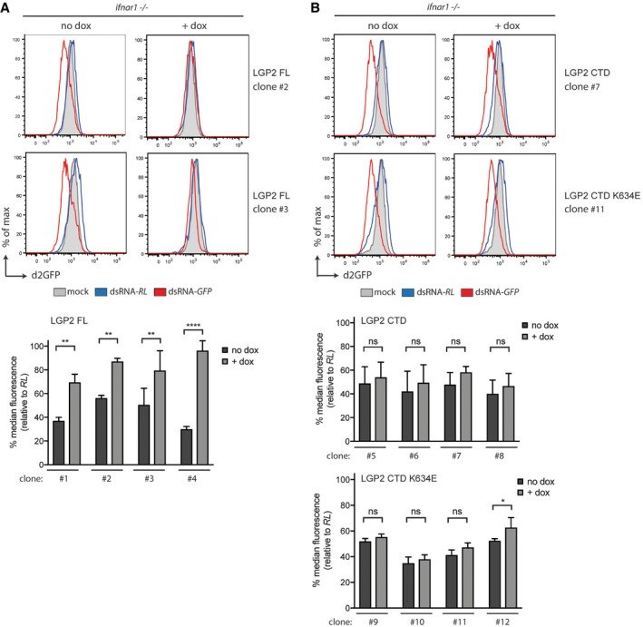 Expression of full‐length LGP 2 inhibits ds RNA ‐mediated RNA i in Ifnar1 −/− cells Ifnar1 −/− iLGP2 cells, which also express a destabilised form of GFP (d2GFP), were transfected with Cy5‐labelled long dsRNA corresponding to the first 200 nt of Renilla luciferase (dsRNA‐RL) or GFP (dsRNA‐GFP) in the absence or presence or doxycycline. Forty‐eight hours post‐transfection, cells were harvested and d2GFP expression in live, single, Cy5 + cells was analysed by flow cytometry. Histogram plots of two representative clones are shown. Bar graphs display the percentage of GFP median fluorescence intensity of dsRNA‐GFP‐transfected cells relative to dsRNA‐RL‐transfected cells in four independent clones. Unlike full‐length LGP2, LGP2 CTD or CTD K634E expression is unable to suppress dsRNAi in Ifnar1 −/− MEFs. Four independent clones of Ifnar1 −/− d2GFP MEFs that inducibly express LGP2 CTD or LGP2 K634E were treated with dsRNA‐RL or dsRNA‐GFP as in (A). Histogram plot of one representative clone for each construct is shown. Bar graphs display the percentage of GFP median fluorescence intensity of dsRNA‐GFP‐transfected cells relative to dsRNA‐RL‐transfected cells in four independent clones. Data information: All histogram plots are representative of three independent experiments. Each histogram represents a sample size of 10,000 cells. Bar graphs depict the median fluorescence values normalised to those in Renilla‐transfected samples. Mean values and SD of three independent experiments are shown. Statistical analysis was performed using two‐way ANOVA with Sidak's multiple comparisons test as post‐test for pairwise comparisons. Significant differences with Sidak's multiple comparisons test are shown (ns, not significant; * P