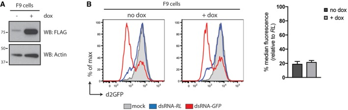 Expression of LGP 2 does not affect ds RNA ‐mediated RNA i in F9 embryonic carcinoma cells Immunoblot analysis of F9 embryonic carcinoma cells in which expression of FLAG‐tagged human LGP2 is induced following 72 h of doxycycline (dox) treatment. β‐Actin serves as loading control. F9 iLGP2 cells were stably transduced with a lentivirus encoding a destabilised form of GFP (d2GFP) and subsequently transfected with Cy5‐labelled dsRNA‐RL or dsRNA‐GFP in the absence or presence or doxycycline. Forty‐eight hours post‐transfection, cells were harvested and d2GFP expression in live, single, Cy5 + cells was analysed by flow cytometry. Histogram plots of one representative experiment are shown and represent a sample size of 10,000 cells. Bar graphs display the percentage of GFP median fluorescence intensity of dsRNA‐GFP‐transfected cells relative to dsRNA‐RL‐transfected cells. Mean values and SD of two independent experiments with duplicate samples are shown. Source data are available online for this figure.