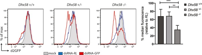 Genetic ablation of LGP 2 (encoded by the gene Dhx58 ) reveals ds RNA i in mammalian cells Dhx58 +/+ , Dhx58 +/− and Dhx58 −/− MEFs were transduced to stably express the d2GFP reporter. Cells were subsequently transfected with Cy5‐labelled dsRNA‐RL or dsRNA‐GFP and harvested 48 h <t>post‐transfection</t> to measure d2GFP expression in live, single, Cy5 + cells by flow cytometry. Histogram plots of one representative experiment are shown and are representative of four independent experiments with duplicate samples. Each histogram represents a sample size of 10,000 cells. Bar graphs display the percentage of GFP median fluorescence intensity of dsRNA‐GFP‐transfected cells relative to dsRNA‐RL‐transfected cells. The median fluorescence values were normalised to those in Renilla‐transfected samples. Mean values and SD of four independent experiments with duplicate samples are shown. Statistical analysis was performed using one‐way ANOVA with Sidak's multiple comparisons test as post‐test for pairwise comparisons. Significant differences with Sidak's multiple comparisons test are shown (** P