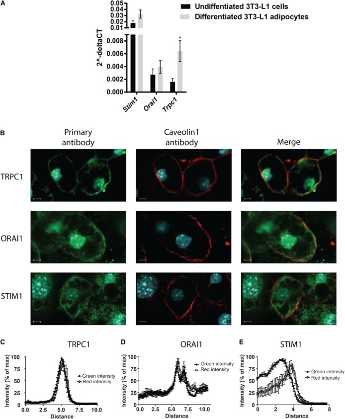 The presence of STIM1, ORAI1 and TRPC1 in 3T3-L1 adipocytes. ( A ) mRNA levels of Stim1 , Orai1 and Trpc1 . Gene-specific mRNA levels are normalized against its respective β-actin mRNA level; ( B ) representative confocal images of adipocytes immunostained for TRPC1, ORAI1 and STIM1; ( C – E ) quantification of fluorescence intensity in adipocytes stained for ( C ) TRPC1, ( D ) ORAI1 and ( E ) STIM1 in five confocal images. The intensity is presented with the fluorescence intensity of Caveolin1 immunostaining in the same samples to show the intensity peak of the proteins of interest in relation to the plasma membrane (Caveolin1). * P