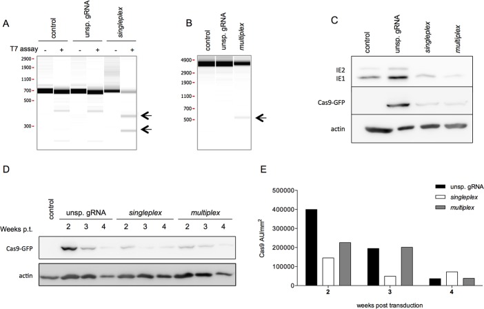 The anti-HCMV CRISPR/Cas9 system induces mutations resulting in a decrease in IE protein expression in primary fibroblasts. MRC5 cells were transduced with one of the three type 1 LVs and selected by puromycin treatment (2 μg/mL) for 2 days. Control (untransduced) and puromycin-resistant MRC5 cells were subcultured prior to infection with Toledo (MOI of 0.1). Two days pi, proteins and DNA were extracted from the infected cells via TriPrep Kit. a) Viral DNA extracts were PCR-amplified at the target region. Amplicons were subsequently subjected to <t>T7</t> endonuclease to detect the indels induced by the singleplex strategy. b) PCR amplicons of the whole IE gene were analyzed to detect larger deletions induced by the multiplex strategy. The arrows highlight the indels (singleplex) and larger deletions (multiplex) induced by the anti-HCMV CRISPR/Cas9 strategies (one out of three independent experiments is shown). c) Western blot analysis of IE and Cas9 expression 2 days pi (one representative western blot out of 3 independent experiments is shown). d) At each passage, the proteins were extracted with the TriPrep Kit and the Cas9 expression was assessed by Western blot. e) Relative quantification of Cas9 expression based on the Western blot (d) normalized to the housekeeping protein actin. Pt, post-transduction.