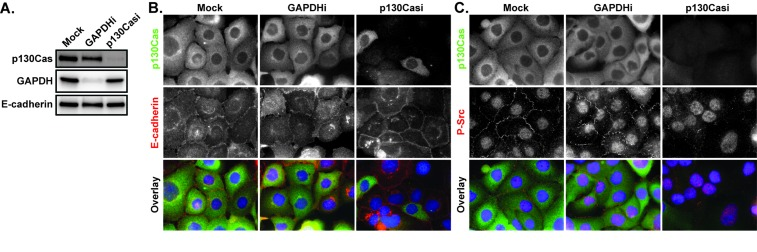 The effects of p130Cas knockdown on E-cadherin and P-Src A. HCC1937 cells were transfected with a mock control or <t>siRNA</t> directed against <t>GAPDH</t> or p130Cas and whole cell lysates evaluated by immunoblotting for p130Cas, GAPDH, and E-cadherin 72 hours later. B. Mock treated as well as p130Cas and GAPDH siRNA-treated cells (p130Casi and GAPDHi respectively) were probed for p130Cas (green), E-cadherin (red), and Hoescht (blue) by indirect immunofluorescence. C. Mock treated as well as p130Cas and GAPDH siRNA-treated cells were probed for p130Cas (green), P-Y419 Src (red), and Hoescht (blue) by indirect immunofluorescence. Images are composed of deconvolved stacks.