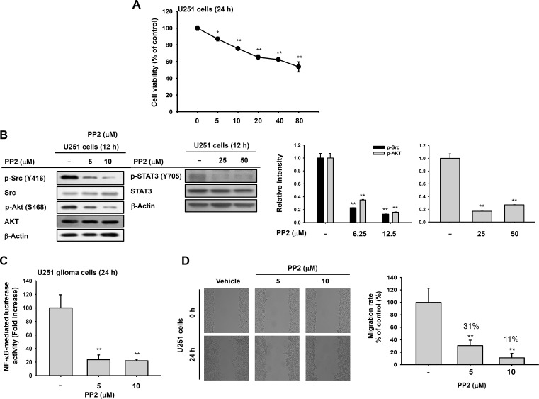 Antitumor effects of Src inhibitor <t>PP2</t> on U251 glioma cells ( A ) Cytotoxic effects of PP2 by MTT assays 24 h after treatment. ( B ) Decreased phosphorylation of Src, Akt, and STAT3 in PP2-treated U251 glioma cells by immunoblots. ( C ) Decrease in NF-κB activity in U251 glioma cells after PP2 by luciferase reporter gene assays. U251 glioma cells were transfected with NF-κB-Luc and β-galactosidase for 24 h before ARP treatment. ( D ) Suppressed migration of U251 glioma cells following PP2 treatment determined by wound-healing assays. * P