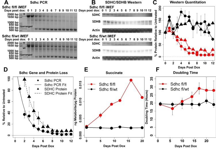 Genetic and phenotypic characterization of SDHC-loss iMEFs ( A ) PCR analysis of Sdhc gene rearrangement using primers flanking [floxed] exon 4, resulting in production of a shortened PCR product upon Cre-mediated gene rearrangement. ( B ) Western blot analysis of SDHC and SDHB protein loss following Sdhc gene rearrangement. ( C ) Western blot quantitation. Colors indicate respective iMEF line (red, experimental; black, control). Symbols correspond to quantified protein (circles: SDHC; triangles: SDHB). Welch two-sample t -test of SDHC protein amount at day 12 quantified for experimental and control lines yields p -value of 0.004 ( N = 6 experimental replicates). Similar statistical analysis of SDHB protein amount yields p -value of 3E-5. ( D ) Exponential decay models of Sdhc gene rearrangement and protein loss. DNA rearrangement and SDHC protein half-lives are 1.76 and 2.17 d, respectively. Midpoints for DNA rearrangement and SDHC protein loss curves occur at 1.8 and 3.6 d, respectively. ( E ) Measured intracellular succinate abundance. Values are normalized to total protein. ( F ) Quantitation of cell population doubling time. Welch two-sample t -test of doubling time difference between experimental and control lines at day 22 yields a p -value of 0.004.