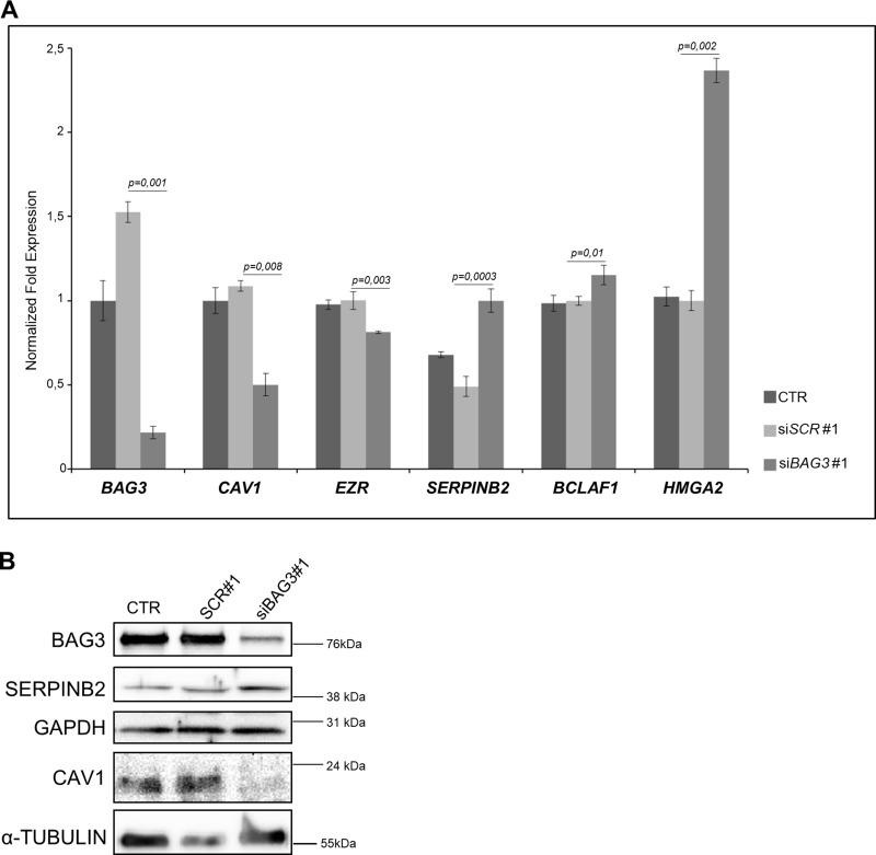 ( A ) Representative qRT-PCR analysis of BAG3 , CAV1, EZR, SERPINB2, BCLAF1 and HMGA2 mRNA expression in 8505C ATC cells transfected with scrambled (si SCR #1) or BAG3 -specific siRNA (si BAG3 #1) (grown in Light SILAC Media) compared to non-transfected 8505C cells (grown in Heavy SILAC media). Data were represented as relative expression on GAPDH . ( B ) Representative Western Blot analysis of BAG3, SERPINB2 and CAV1 protein expression in 8505C ATC cells transfected with scrambled (si SCR #1) or BAG3 -specific siRNA (si BAG3 #1) (grown in Light SILAC Media) compared to non-transfected 8505C cells (grown in Heavy SILAC media). α-TUBULIN and GAPDH were used as loading control. These transfected cells were used for Mass Spectrometry analysis.