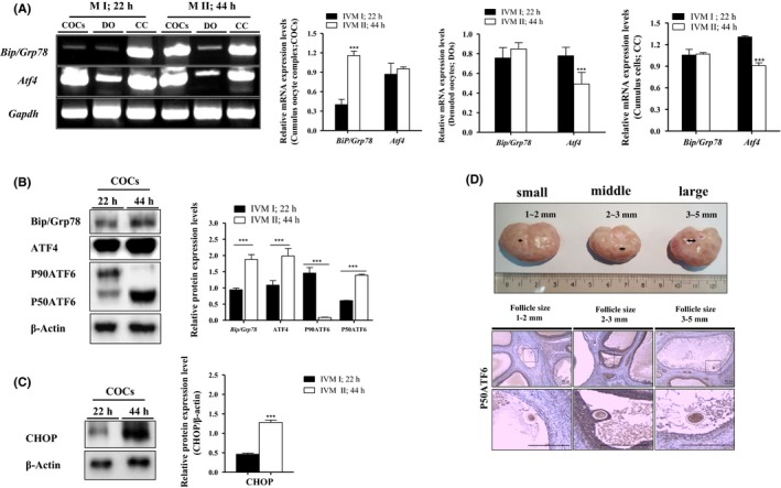 Expression patterns of unfolded protein response ( UPR ) signal genes in cumulus‐oocyte complexes ( COC s), denuded oocyte ( DO ), and cumulus cells ( CC ) on porcine oocytes in vitro maturation ( IVM ) (22 and 44 h). A, The mRNA levels of activated UPR signal transcription factors ( <t>Bip/Grp78</t> and Atf4 ) on maturing COC s, DO , and CC of porcine IVM process (metaphase, M I; 22 h and metaphase, M II ; 44 h) were measured by reverse transcription‐polymerase chain reaction ( PCR ) ( RT ‐ PCR ) analysis. Relative folds of Bip/Grp78 and Atf4 were obtained by normalizing the signals for Gapdh . B‐C, Western blotting results of Bip/Grp78, ATF 4, P50 ATF 6, and CHOP in DO , COC s, and CC were compared at the M I (22 h) and M II (44 h) stages of pig oocyte maturation. Relative folds of UPR marker protein levels were obtained by normalizing the signals for β‐Actin. D, Immunohistochemistry ( IHC ) staining of P50 ATF 6 in pig ovaries with different follicle sizes (1‐2 mm, small; 3‐4 mm, middle; and 5‐6 mm, large). IHC staining for P50 ATF 6 is detected using specific P50 ATF 6 antibody in in vivo ‐ maturing oocytes of pig ovary follicles. O = immature oocyte, Scale bar = 200 μm. Histograms represent values of densitometry analysis obtained using ImageJ software. Data in the bar graph are means ± SEM / SD of three independent experiments (per 50 DO s and 30 COC s). *** P