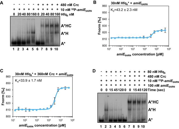 The presence of Crc stabilizes the Hfq/RNA complex. ( A ) Electrophoretic mobility shift assays (EMSA) with 32 P- amiE 6ARN RNA and increasing amounts of Hfq 6 in the absence and presence of Crc. Lane 1, electrophoretic mobility of 32 P- amiE 6ARN RNA (A*) in the absence of proteins. Lanes 2–5, 32 P- amiE 6ARN RNA/Hfq 6 complex formation (A*H) with increasing concentrations of Hfq 6 . Lanes 6–10, 32 P- amiE 6ARN RNA/Crc/Hfq 6 complex formation (A*HC) with increasing concentrations of Hfq 6 . ( B and C ) MST analysis with 30 nM labelled Hfq 6 and increasing concentrations of amiE 6ARN RNA in the absence (B) and presence of 360 nM Crc (C). The results represent data from two independent experiments and are shown as mean ± standard deviation. Thermophoresis/T-jump analysis is shown. LED power of 90% and MST power of 60% were used. ( D ) Hfq-RNA dissociation in the absence and presence of Crc. 32 P- amiE 6ARN RNA was pre-incubated with Hfq (A*H complex; lanes 2–5) or with Hfq and Crc (A*HC complex; lanes 7–10). Then, unlabelled amiE 6ARN competitor RNA was added for the times given in seconds followed by electrophoresis on a native polyacrylamide gel. Lane 1, electrophoretic mobility of 32 P- amiE 6ARN RNA (A*) in the presence of unlabelled 32 P- amiE 6ARN RNA. Lane 6, electrophoretic mobility of 32 P- amiE 6ARN RNA (A*) in the presence of unlabelled 32 P- amiE 6ARN RNA and Crc. The concentrations of the ligands are given at the right.