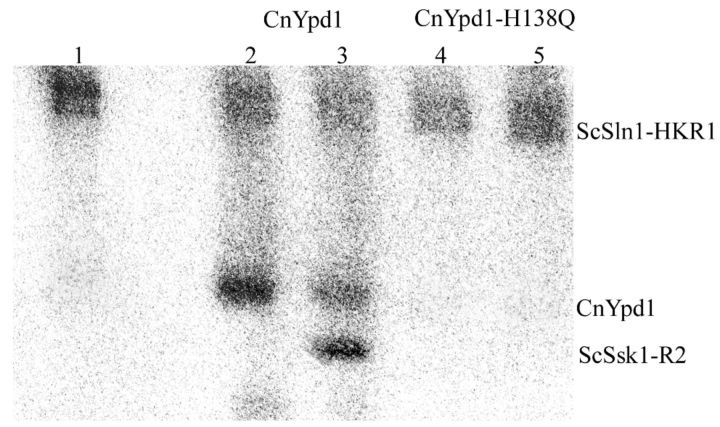 Phosphorylation of CnYpd1 from a heterologous phosphodonor. The HK and RR domains from a heterologous donor, Sln1 from S. cerevisiae (Sln1-HKR1), were used to phosphorylate CnYpd1. ScSln1-HKR1 was autophosphorylated using 0.1 μM γ- 32 P-labeled ATP (lane 1). ScSln1-HKR1 was incubated with CnYpd1 alone (lane 2) or with ScSsk1-R2 (lane 3), CnYpd1-H138Q alone (lane 4) or with ScSsk1-R2 (lane 5).