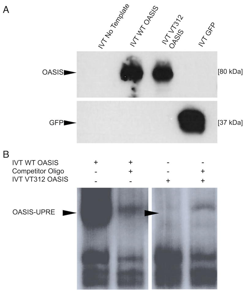 Effect Of The Variant On OASIS Function. A) IVT. The variant protein (VT312) is stably expressed and does not appear truncated compared to wild type (WT) protein. IVT with no DNA input or with a construct bearing GFP DNA were included as (−) and (+) controls for in vitro transcription, respectively. Western Blot. B) The family variant causes a defect in DNA binding. A shift is seen when IVT WT OASIS is incubated with the radiolabeled oligo containing the UPRE-like sequence (lane 1). This shift is competed away when unlabeled oligo is added (lane 2). The shift is absent when radiolabeled oligo is incubated with IVT VT312 OASIS (lane 3). Background bands are likely binding interactions between labeled oligo and proteins from the HeLa lysate used to perform IVT. EMSA.