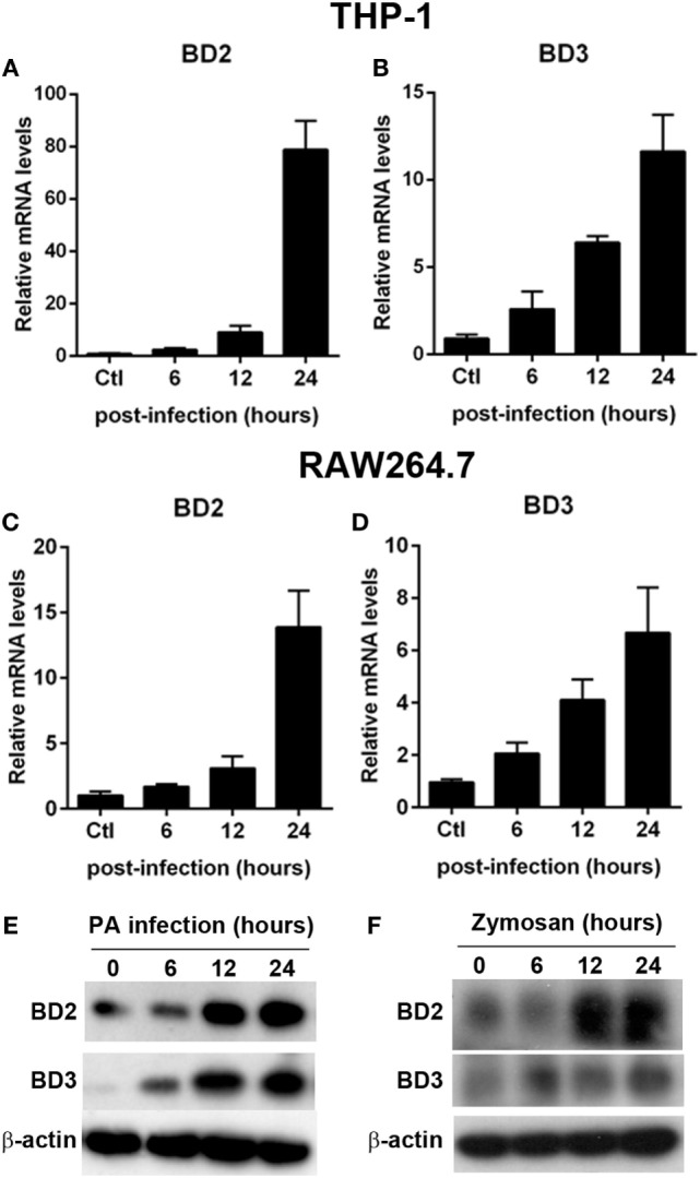 Pseudomonas aeruginosa (PA) infection increased beta-defensins 2 (BD2) and beta-defensins 3 (BD3) expression in macrophages. THP-1 macrophages (A,B) and RAW264.7 cells (C,D) were infected with PA at multiplicity of infection (MOI) 1. The mRNA levels of BD2 (A,C) and BD3 (B,D) were analyzed by real-time PCR. (E) THP-1 macrophages were infected with PA at MOI 1. Protein levels of BD2 and BD3 were tested by western blot. (F) THP-1 macrophages were incubated with Zymosan Bioparticles (MOI = 1) at indicated time. Protein levels of BD2 and BD3 were tested by western blot.