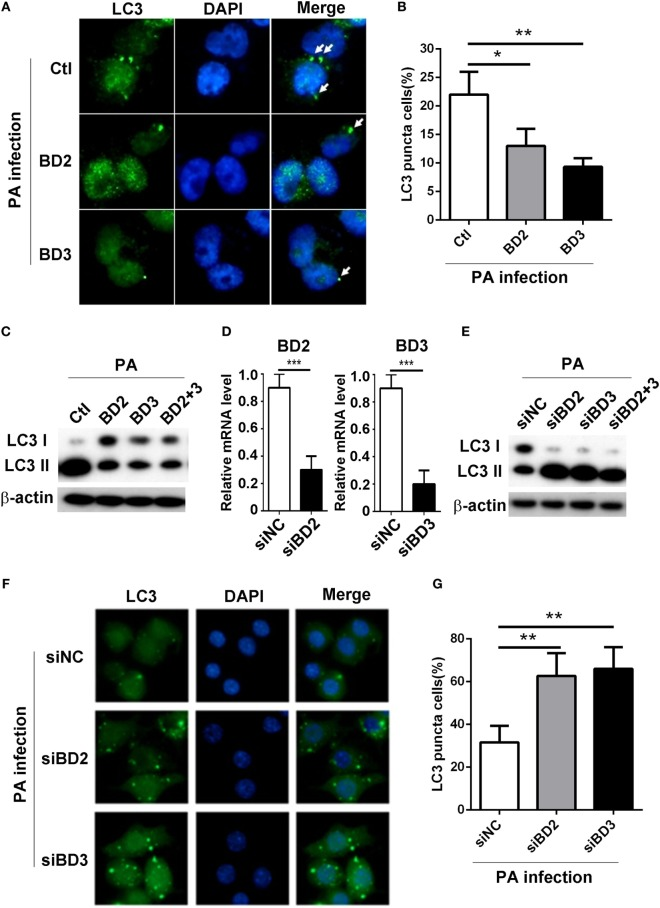 Beta-defensins 2 (BD2) and beta-defensins 3 (BD3) suppressed autophagy in macrophages. (A–C) THP-1 macrophages were treated with recombinant human BD2 or BD3 or both peptides (1 µg/ml) for 6 h, and infected with Pseudomonas aeruginosa (PA) at multiplicity of infection 1 for 6 h. (D–G) RAW264.7 cells were transiently transfected with siBD2, siBD3, or both vs siNC for 24 h, and then infected with PA. (A,F) Cells were fixed, stained with anti- microtubule associated protein 1 light chain 3 (LC3) Alexa Fluro 488 fluorescent Ab, and then detected by immune fluorescence microscopy. Arrows indicate the LC3 puncta in THP-1 macrophages (A) and RAW264.7 cells (F) . (B,G) Quantification of cells containing LC3 puncta in THP-1 macrophages (B) and RAW264.7 cells (G) . (C,E) Protein levels of LC3-II were tested by western blot in THP-1 macrophages (C) and RAW264.7 cells (E) . (D) The knockdown efficiency was tested by RT PCR. Data are shown as the mean ± SEM of three independent experiments (* p