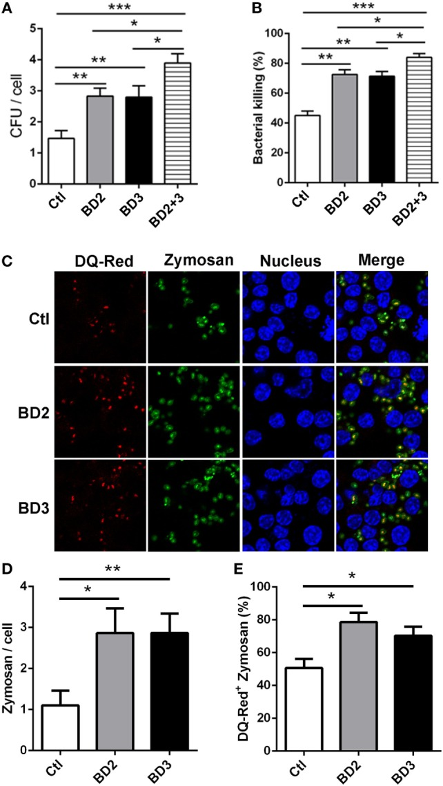 Beta-defensins 2 (BD2) and beta-defensins 3 (BD3) enhanced macrophage-mediated phagocytosis and intracellular killing of Pseudomonas aeruginosa (PA), and internalization of Zymosan bioparticles. (A,B) THP-1 macrophages were treated with recombinant BD2 or BD3 or both peptide (1 µg/ml) for 6 h, and infected with PA at multiplicity of infection (MOI) 25, and then the efficiency of phagocytosis (A) and intracellular killing (B) was determined by colony forming unit assay. (C–E) THP-1 macrophages were treated with BD2 or BD3 peptides (1 µg/ml) for 24 h, and treated with DQ-Red bovine serum albumin (lysosome marker, Red) for 6 h, and then incubated with Zymosan Alexa Fluro 488 Fluorescent Bioparticles (MOI = 25) for 1 h. Cells were fixed, stained with DAPI (Blue) to visualize the nuclei, and then examined by confocal microscopy [ (C) scale bar = 5 µm]. Internalization of Zymosan bioparticles was calculated by the number of phagosomes containing fluorescent Zymosan bioparticles (green dots) per cell (D) . Formation of phagolysosomes was determined by the co-localization of DQ-red positive lysosomes (red) and phagosomes containing zymosan bioparticles (green) (E) . Data are shown as the mean ± SEM of three independent experiments (* p