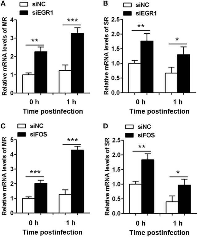 Silencing of early growth response gene-1 (EGR1) or c-FOS increased the expression of phagocytic receptors. THP-1 macrophages were transfected with siEGR1 (A,B) or siFOS (C,D) for 24 h, and then infected with Pseudomonas aeruginosa at multiplicity of infection 1 for 1 h. The mRNA levels of phagocytic receptors including mannose receptor (MR) (A,C) and scavenger receptor (SR) (B,D) were analyzed by real-time PCR. Data are shown as the mean ± SEM of three independent experiments (* p