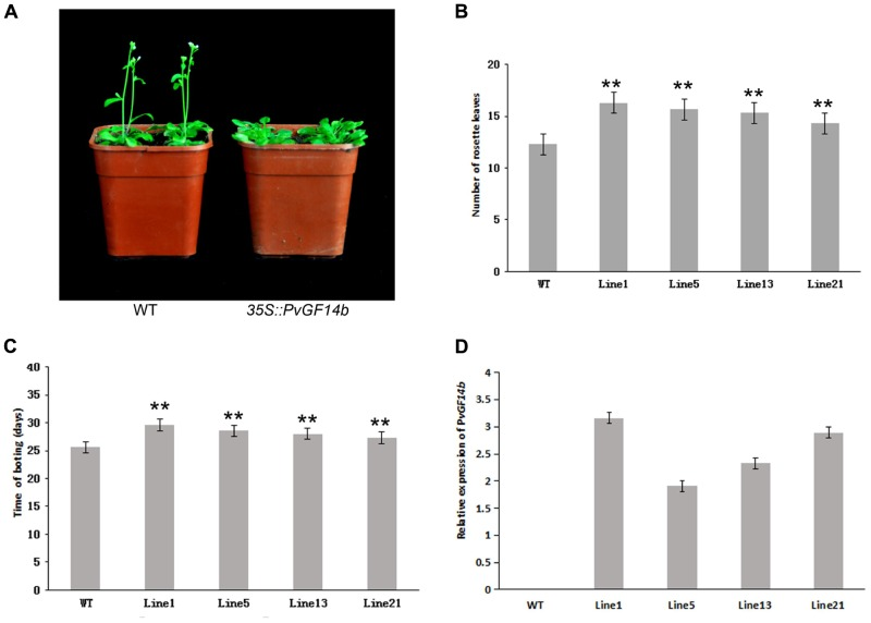 """Phenotype analysis of 35S::PvGF14b Arabidopsis plants under LD conditions. (A) Phenotype differences in flowering between 35S::PvGF14b transgenic plants and wild-type plants. Photographs were taken at 26-day-old wild-type plants. (B) The number of rosette leaves in T2 35S::PvGF14b in transgenic plants ( n = 20) and wild-type plants. (C) Bolting time in T2 35S::PvGF14b transgenic plants ( n = 20) and wild-type plants. (D) qRT-PCR expression analysis of PvGF14b . Asterisks """" ∗∗ """" indicate significant differences in comparison with the WT at P"""