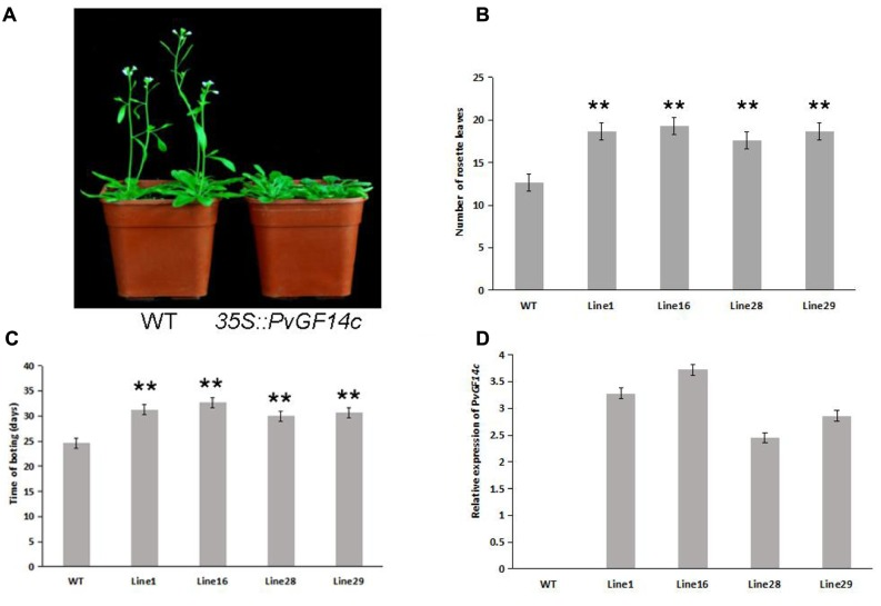 """Phenotype analysis of 35S::PvGF14c Arabidopsis plants under LD conditions. (A) Phenotype differences in flowering between 35S::PvGF14c transgenic plants and wild-type plants. Photographs were taken at 28-day-old wild-type plants. (B) The number of rosette leaves in T3 35S::PvGF14c in transgenic plants ( n = 24) and wild-type plants. (C) Bolting time in T3 35S::PvGF14c transgenic plants ( n = 24) and wild-type plants. (D) qRT-PCR expression analysis of PvGF14c . Asterisks """" ∗∗ """" indicate significant differences in comparison with the WT at P"""