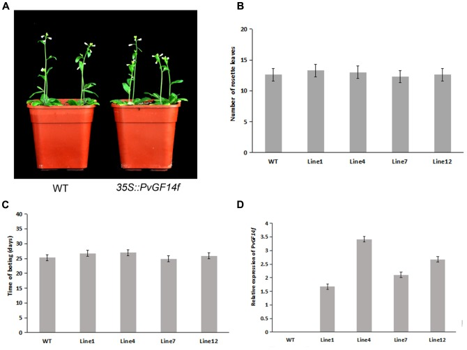Phenotype analysis of 35S::PvGF14f Arabidopsis plants under LD conditions. (A) Phenotype differences in flowering between 35S::PvGF14f transgenic plants and wild-type plants. Photographs were taken at 27-day-old wild-type plants. (B) The number of rosette leaves in T2 35S::PvGF14f in transgenic plants ( n = 20) and wild-type plants. (C) Bolting time in T2 35S::PvGF14f transgenic plants ( n = 20) and wild-type plants. (D) qRT-PCR expression analysis of PvGF14f .