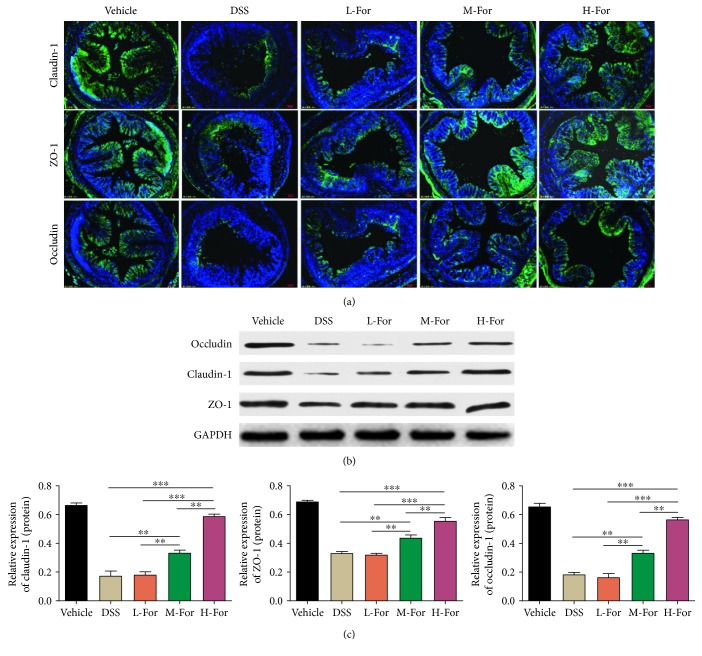 For relieved DSS-induced colonic epithelial tight junction destruction in mice. (a) Representative immunofluorescence images for claudin-1 (Green), occludin (Green), and ZO-1 (Green) in the colonic tissue. (b, c) Protein levels of claudin-1, occludin, and ZO-1 in the colon tissues were analyzed by western blotting. ∗∗ p