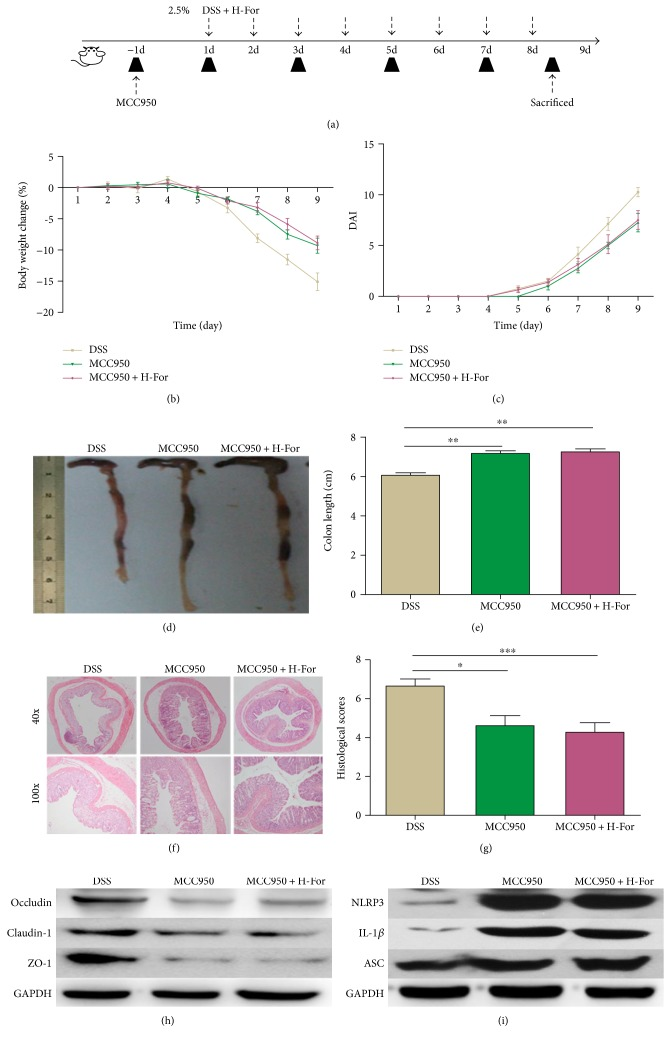 NLRP3 inhibitor MCC950 eliminated the protective effect of H-For on acute colitis in mice. (a) The experimental protocol with For and MCC950 in acute colitis model. (b) Body weights of mice and (c) disease activity index (DAI) during the disease process. (d) Morphological changes in the mice colons, (e) variations of colon length of mice, (f) representative HE staining, and (g) histological scores of colonic tissue. (h) Protein levels of claudin-1, occludin, and ZO-1 and (i) NLRP3, ASC, and IL-1 β were analyzed by western blotting. ∗ p
