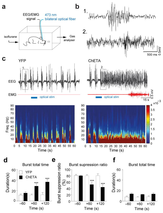 Activation of the LH GABA -TRN circuits induced cortical arousal and emergence from anesthesia a , Shematic representation of the in vivo polysomnographic recording set up in anesthetic chamber. b , Higher time resolution of of EEG traces shown in (c) depicted by the boxes (1) for control condition and (2) for ChETA-EYFP positive animals after 5 sec light stimulation of the TRN. These illustrate changes at the level of cortical EEG of burst-suppression ration after stimulation during anesthesia (1–1.2 % isoflurane). c , Representative EEG/EMG recordings and heat map EEG power spectrum before, during and after single 5-s optical stimulation (horizontal blue bars) in EYFP ( left ) and ChETA-YFP ( right ) animals during deep anaesthesia. Note the muscle tone that occured in ChETA-YFP (2 out of 5 animals). d , Mean duration ± S.E.M of burst total time ( e ), burst suppression ratio and ( f ), and burst total time duration, before and after bilateral optical stimulation delivered during the EEG burst in control (white) N = and ChETA-EYFP (black), ( N = 4 mice, 3 repetitions per animal). f , Mean duration ± S.E.M of burst total time before and after bilateral optical stimulation delivered during isoelectric period in control (white) and ChETA-EYFP (black) ( N = 4 mice, 3 repetitions per animal). ***, P