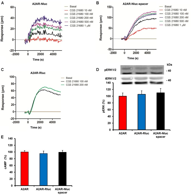 Functional characterization of A 2A R fusion proteins. (A–C) DMR assays were performed in HEK-293T cells transfected with cDNA (1.5 μg) corresponding to A 2A R-Nluc (A) or A 2A R-Nluc-spacer (B) both fused on the N-terminal end or A 2A R-Rluc fused on the C-terminal end (C) . Cells were stimulated with vehicle (basal) or with increasing concentrations of the A 2A R agonist CGS 21680. The resulting shifts of reflected light wavelength (pm) were monitored over time. Each panel is a representative experiment of n = 3 different experiments. Each curve is the mean of a representative optical trace experiment carried out in quadruplicates. (D,E) ERK1/2 phosphorylation (D) and cAMP production (E) were determined in cells transfected with the cDNA (1.5 μg) corresponding to A 2A R, A 2A R-Rluc fused on the C-terminal end or A 2A R-Nluc-spacer fused on the N-terminal end. Cells were stimulated with 100 nM CGS 21680 for 10 min. Results are given as percentage respect cells expressing only A 2A R. Values are expressed as means ± SEM ( n = 4). (D) A representative western blot is shown at the top of the panel and in (E) 100% represents 80–100 pmols of cAMP/10 6 cells.