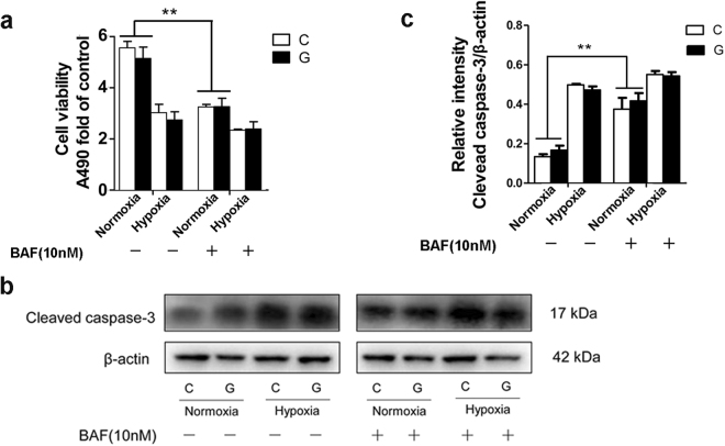 "Inhibition of autophagy degradation induced cell death. ( a ) An MTS assay was used to access Neuro-2a cell proliferation under hypoxia and/or normoxia in the presence or absence of BAF. Treatment with BAF induced a decreased OD value under normoxia but did not further change the OD value under hypoxia. ""C"" represented control conditions (25 mM glucose), ""G"" represented high glucose conditions (75 mM glucose). ( b ) Immunoblots were performed to determine the level of the cleaved caspase-3 protein in Neuro-2a cells. BAF treatment induced an increase in the level of cleaved caspase-3 protein under normoxia but did not further change the expression of cleaved caspase-3 under hypoxia. The results are expressed as the mean ± SEM from three independent experiments. Two-way ANOVA, ** p"